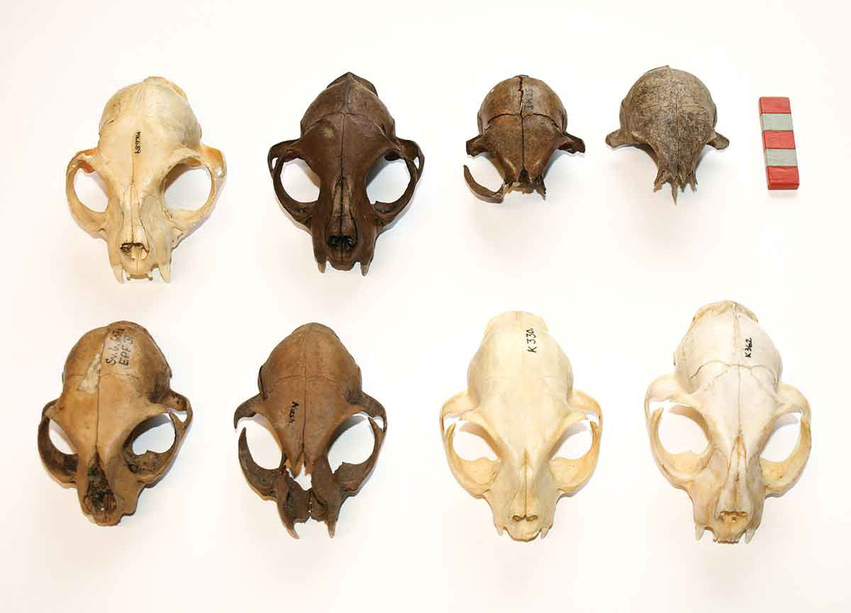 Skull bones from ancient and modern Danish house cats.