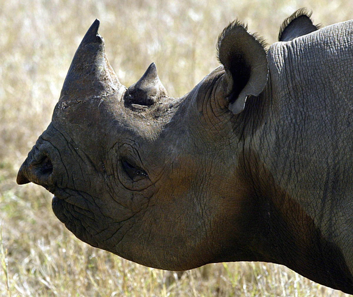 A black rhinoceros, like the 1959 Brazilian candidate.