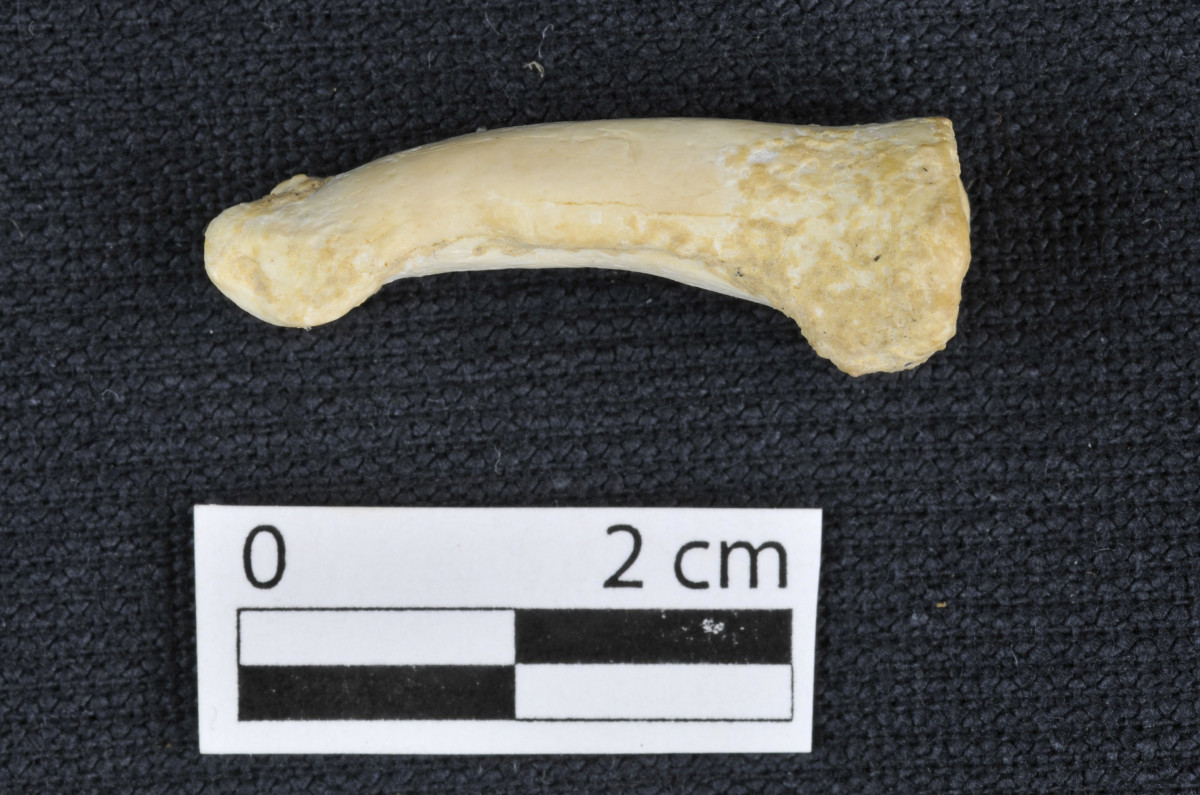 A proximal foot phalanx of Homo luzonensis, showing the longitudinal curvature of the bone.