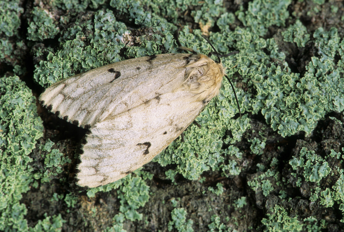 Gypsy Moths (Lymantria dispar dispar)