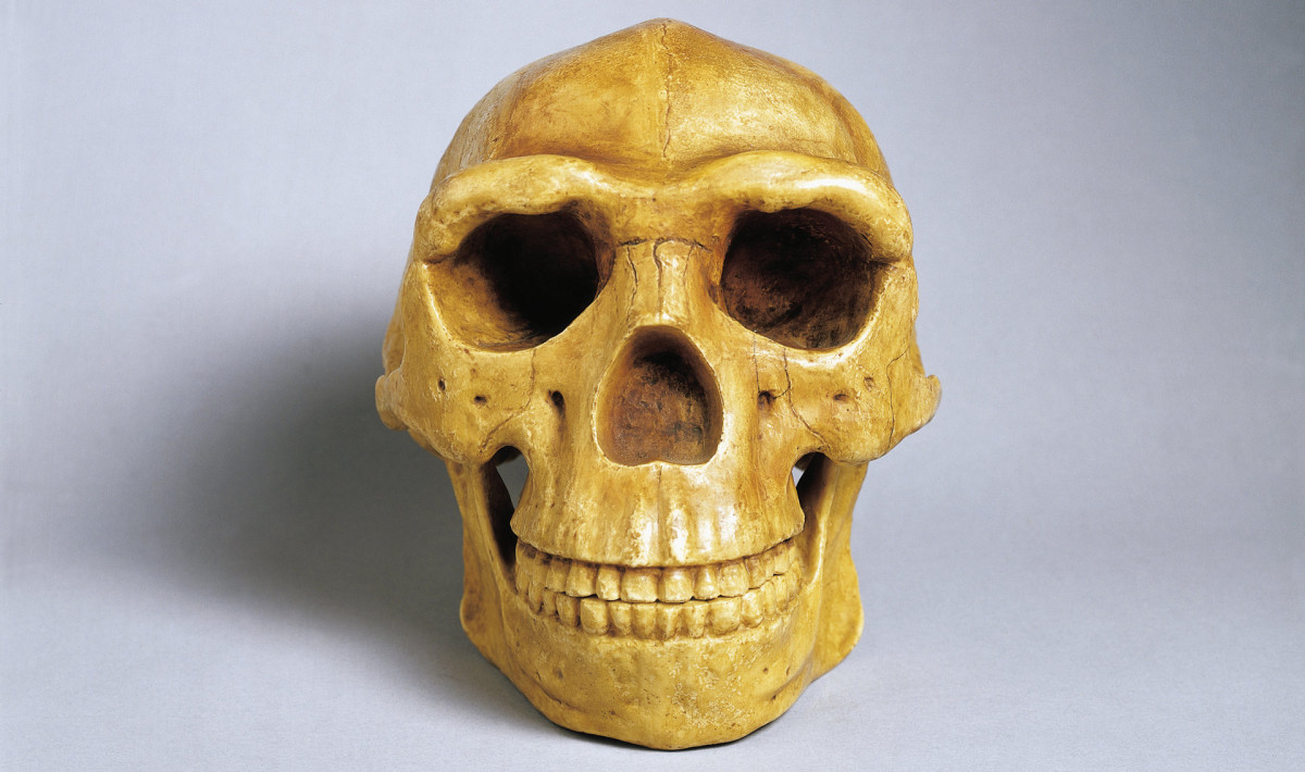 Peking man fossils
