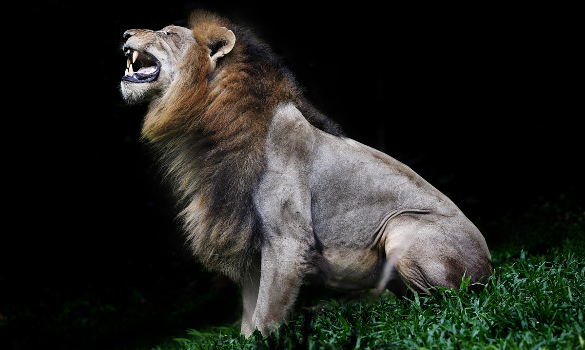 Beast-of-Gevaudan-Lion-GettyImages-946909430