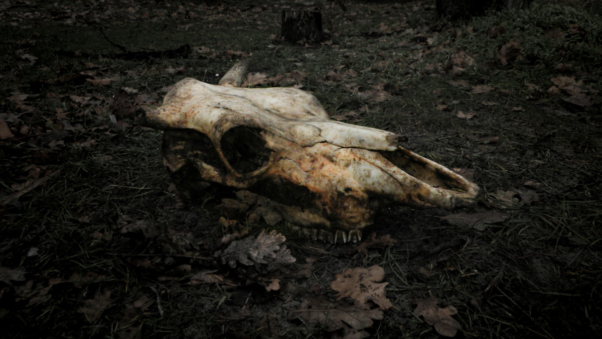 A skull of a dead cow.