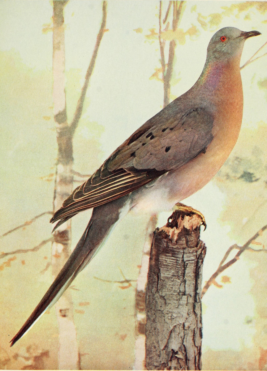 """Engraved drawings of the Passenger Pigeon (Ectopistes migratorius), from the book """"Birds and all nature"""" by Charles C. Marble and William Kerr Higley, 1896. Courtesy Internet Archive. (Photo by Smith Collection/Gado/Getty Images)"""