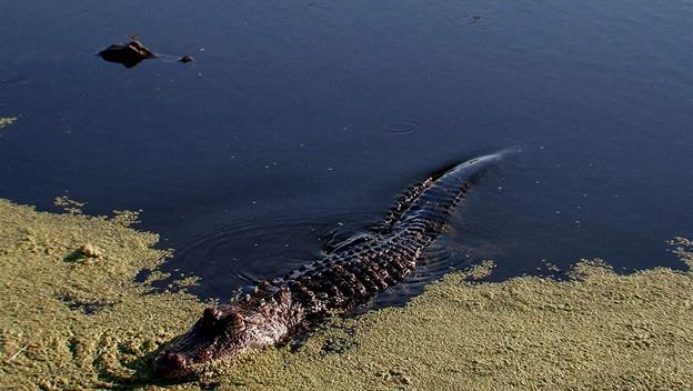 Swamp People: Gator Gold Rush